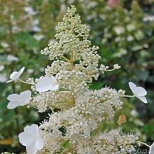 Rispenhortensie Kyushu weiß - Hortensie