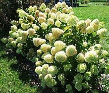 Rispenhortensie Little Lime - Hydrangea paniculata
