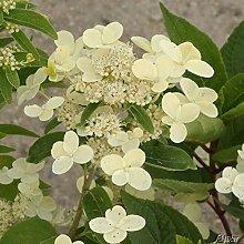 Rispenhortensie Prim White cremeweiß-rosa -