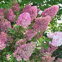 Rispenhortensie Sundae Fraise weiß-rosa -