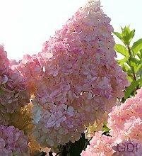 Rispenhortensie Sunday Fraise 30-40cm - Hydrangea