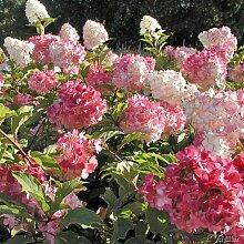 Rispenhortensie Vanilla Fraise cremeweiß-rosa-