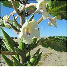 Rogeria longiflora - Wüsten-Fingerhut - 10 Samen