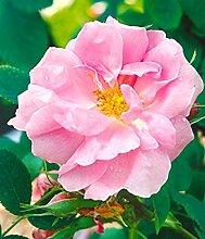 Rosa 'Trigintipetala', Bulgarische