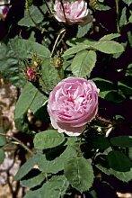 Rosa centifolia muscosa, Historische Moosrose im 4