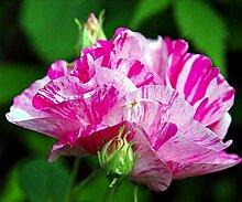 Rosa gallica 'Versicolor', Historische