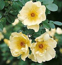 Rosa hugonis, Chinesische Goldrose, frühblühende