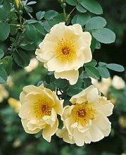 Rosa hugonis, Strauchrose in A-Qualität Wurzelware
