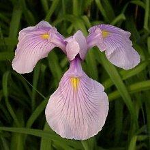 Rosa Wasserschwertlilie / Iris laevigata Rose