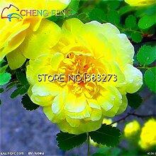 Rosaceae Startseite Rosa xanthina Samen 100pcs Zierpflanze Manchu Rose Samen Landschaftsbau Gartenbonsai Seltene Blumensamen beobachten