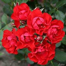 Rose 'Black Forest Rose®' - Beetrose rote