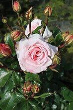Rose 'Bonica 82®' - Beetrose rosa Blüten
