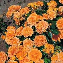 Rose 'Goldelse®' - Beetrose orange