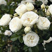 Rose Artemis Strauchrose mit Blüten-Farbe weiß