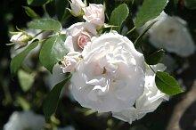 Rose Aspirin Rose® (im grossen Container) - Kräftig entwickelte Pflanze im 6lt-Topf