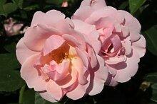 Rose Astrid Lindgren® Pouluf (im grossen Container) - Kräftig entwickelte Pflanze im 6lt-Topf