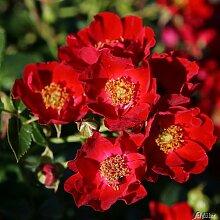 Rose Bassino® - Bodendeckerrose leuchtendrote