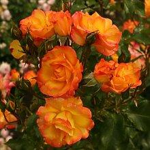 Rose Bonanza® (im grossen Container) - Kräftig entwickelte Pflanze im 6lt-Topf