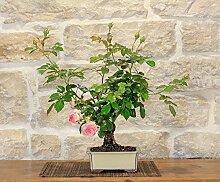 Rose Bonsai Tree (21)