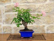 Rose Bonsai Tree (23)