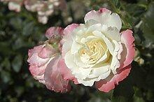 Rose Carmagnole ® (im grossen Container) - Kräftig entwickelte Pflanze im 6lt-Topf