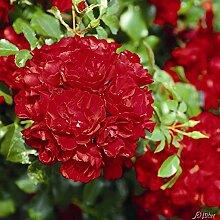 Rose Centro-Rose- Bodendeckerrose leuchtend roten