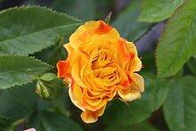 Rose Chinatown® (im grossen Container) - kräftige Pflanze im 6lt Container
