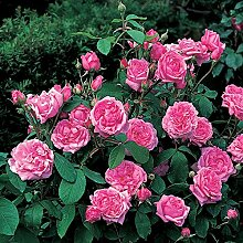 Rose Comte de Chambord Strauchrose mit