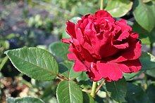 Rose de 4 vents® (im grossen Container) - Kräftig entwickelte Pflanze im 6lt-Topf