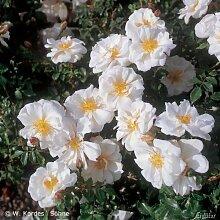Rose Diamant- Bodendeckerrose reinweißen Blüten