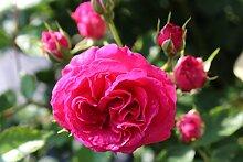 Rose Elmshorn (im grossen Container) - kräftige Pflanze im 6lt Container