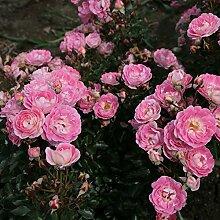 Rose Flirt 2011- Bodendeckerrose hellrosanen