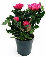 Rose für den Garten, blühend, Rosa, Lila, echte