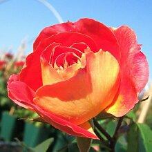 Rose Gebrüder Grimm® ADR Beetrose