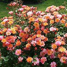 Rose Jazz® - Bodendeckerrose mehrfarbige Blüten in Orange Apricot Gelb - Kleinstrauchrose Pflanze Duftend Winterhart Halbschattig Mehltau-Resistent von Garten Schlüter - Pflanzen in Top Qualitä