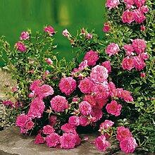 Rose Knirps® - Bodendeckerrose rosa Blüten -