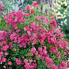 Rose Lovely Fairy- Bodendeckerrose himbeerroten