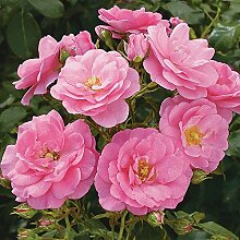 Rose Mirato- Bodendeckerrose pinken Blüten -