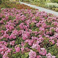Rose Palmengarten Frankfurt- Bodendeckerrose