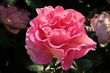 Rose Pink Paradise® (im grossen Container) - kräftige Pflanze im 6lt.-Container
