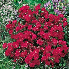 Rose Red The Fairy® - Bodendeckerrose