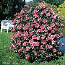Rose Romanze Strauchrose mit Blüten-Farbe pink -
