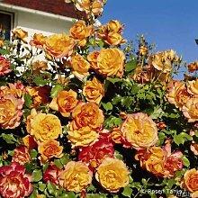 Rose Sahara Strauchrose mit Blüten-Farbe goldgelb