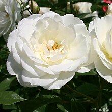 Rose Schneewittchen Strauchrose mit Blüten-Farbe