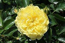 Rose Solero® (im grossen Container) - Kräftig entwickelte Pflanze im 6lt-Topf