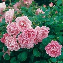 Rose Sommerwind- Bodendeckerrose reinrosanen