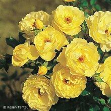 Rose Sonnenschirm® - Bodendeckerrose leuchtend