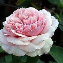 Rose Souvenir de la Malmaison (im grossen