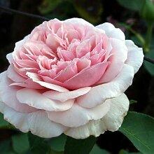 Rose Souvenir de la Malmaison (im grossen Container) - Kräftig entwickelte Pflanze im 6lt-Topf