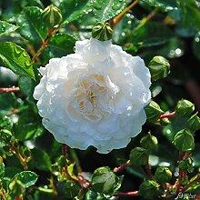 Rose Swany- Bodendeckerrose weißen Blüten -